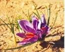 C. sativus